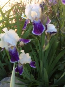 Naested Garden: Irises